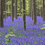 Belgian Bluebell Forest